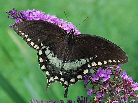 Spicebush Swallowtail by Randy Bodkins