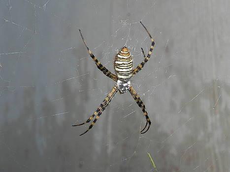 Spider by Adrienne Petterson