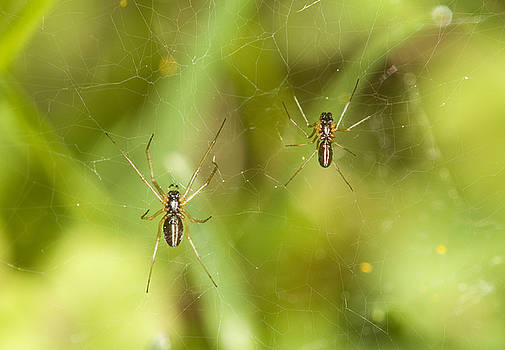 Spider couple by Jouko Mikkola