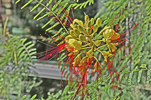 Spider Flower Red Filament Petals Yellow Pod-Like center Green Leaves Background 2 10232017 Colorado by David Frederick