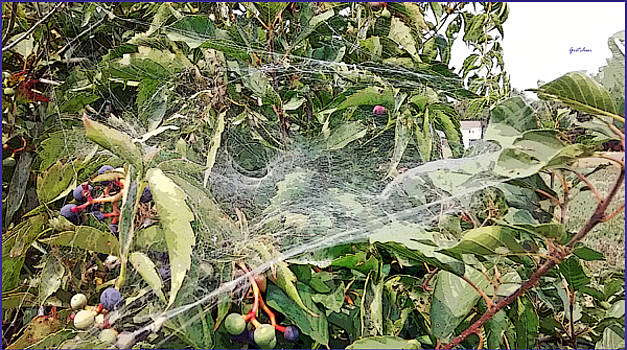 Spider Gauze Over Blueberries by Gretchen Wrede
