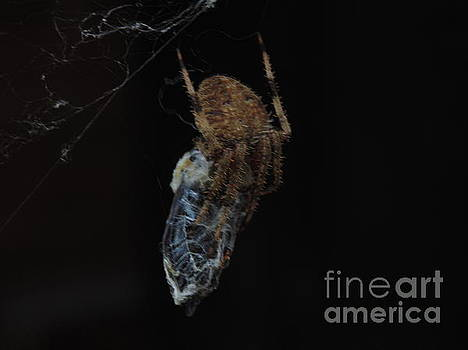 Spider by Ginny Youngblood