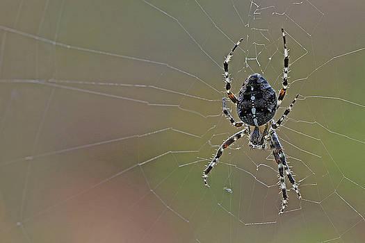 Spider by Jos Verhoeven