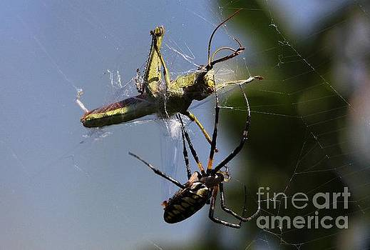 Paulette Thomas - Spider Snares Lunch