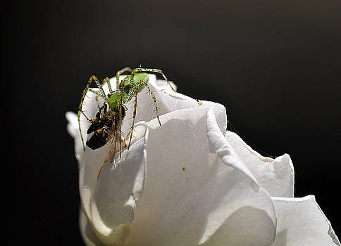 Clayton Bruster - Spider vs Bee on Rose