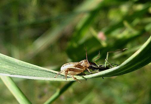 Spider With Grasshopper by Batki Noemi