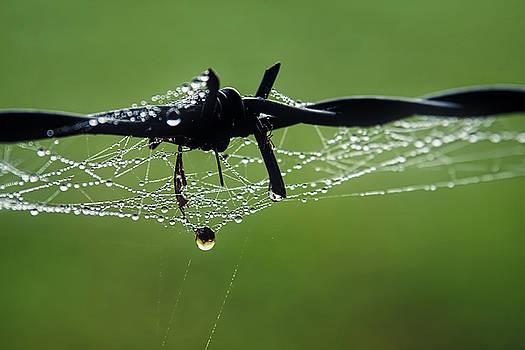 Spiderweb On Fencing by Susie Peek