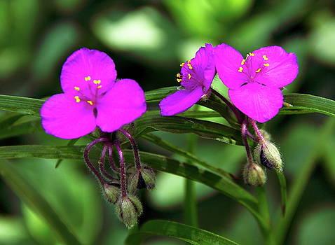 Allen Nice-Webb - Spiderwort