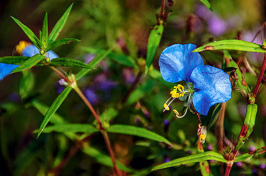Spiderwort by Phillip Burrow