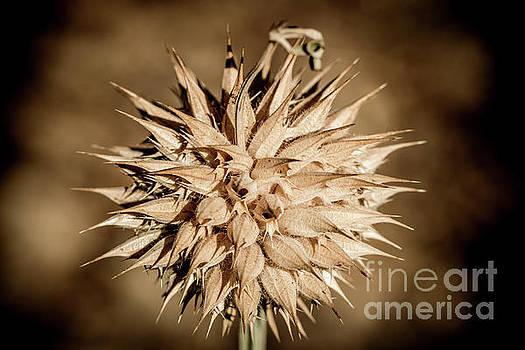 Spiky Flower by Petrus Bester