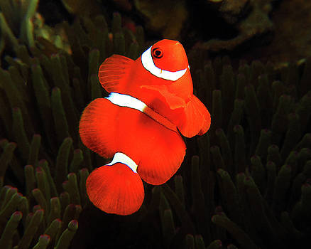 Spinecheek Anemonefish, Indonesia 1 by Pauline Walsh Jacobson