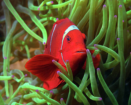 Spinecheek Anemonefish, Indonesia 3 by Pauline Walsh Jacobson