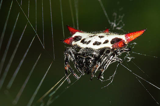Paul Rebmann - Spiny Orb Weaver