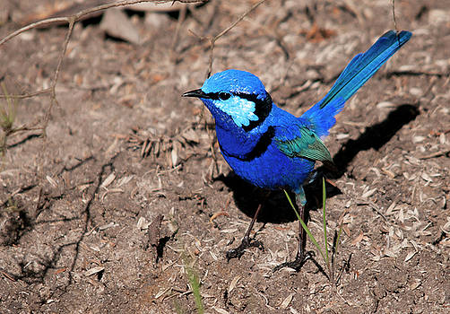 Splendid fairy wren by Dave Smith