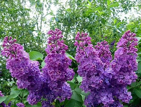 Splendid Lilacs by Will Borden