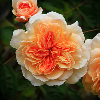 Splendiferous Apricot Rose by Bonnie Follett