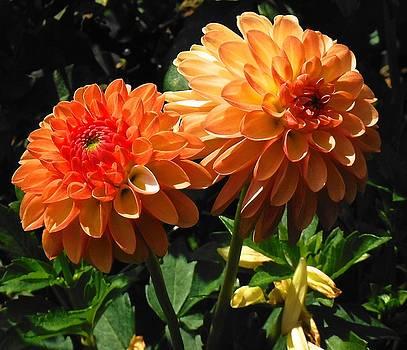 Splendor of Fall Dahlias  by Suzanne McDonald