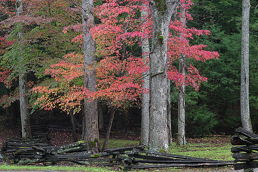 Split rail fence view with red dogwoods and forest in autumn by Natalie Schorr