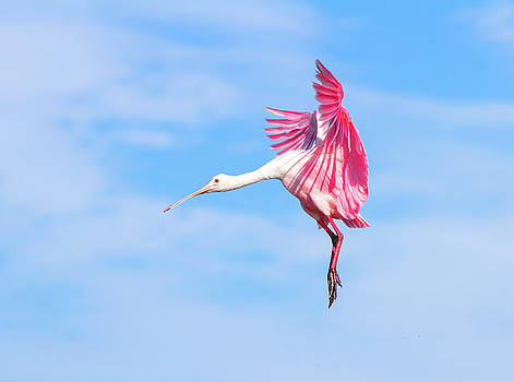 Spoonbill Ballet by Mark Andrew Thomas