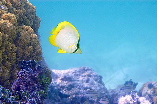 Spotfin Butterflyfish by Steven Dramstad