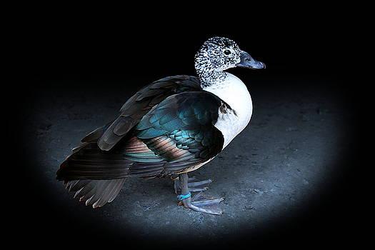 Spotlight on a Female Comb Duck by Debi Dalio