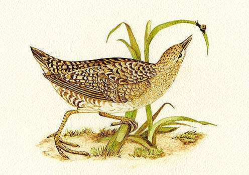 Spotted Crake 1 by Cate McCauley