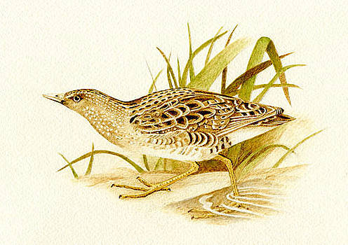 Spotted Crake 2 by Cate McCauley