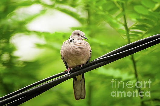 Spotted Dove   by Venura Herath