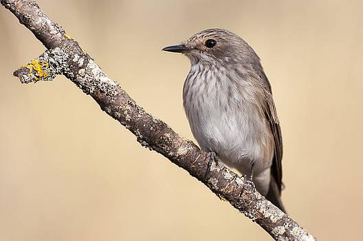 Hernan Bua - Spotted flycatcher