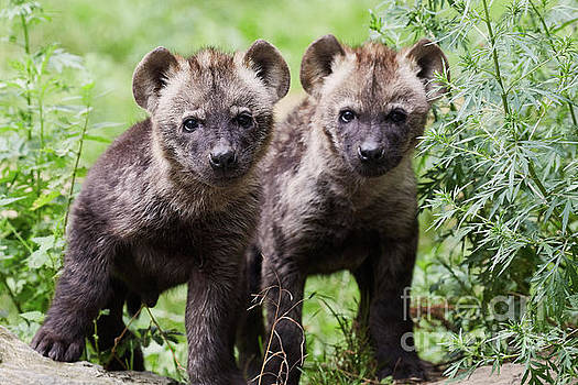 Nick Biemans - Spotted hyena cubs I