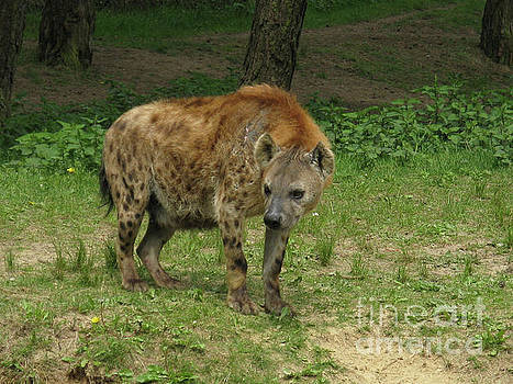 Spotted Hyena with a Curved Back in the Wild by DejaVu Designs