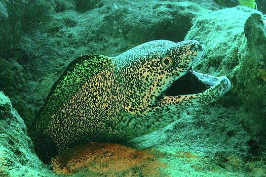 Spotted Moray by Roupen  Baker