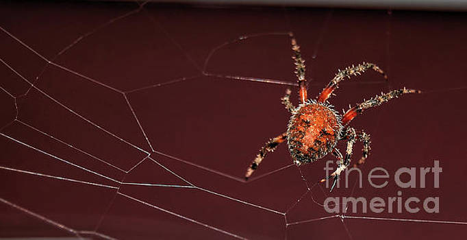 Spotted Orbweaver by Guy Harnett