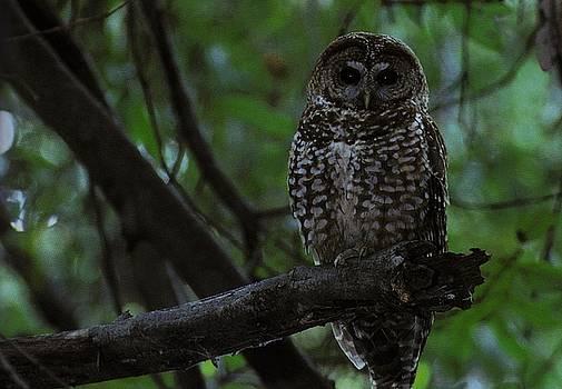 Diane Kurtz - Spotted Owl