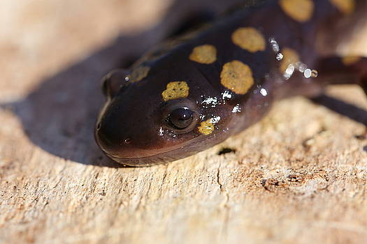 Spotted Salamander In Spring by David Hand
