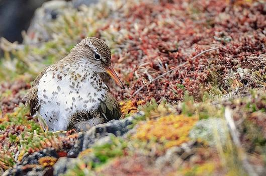 Spotted Sandpiper over young by Ian Harland