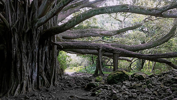 Daniel Hagerman - SPRAWLING BANYAN TREE