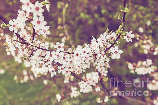 Sophie McAulay - Spring apple blossom