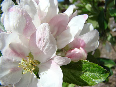 Baslee Troutman - SPRING Apple Blossoms Art Prints Apple Tree Baslee Troutman