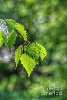 Spring birch leaves by Veikko Suikkanen