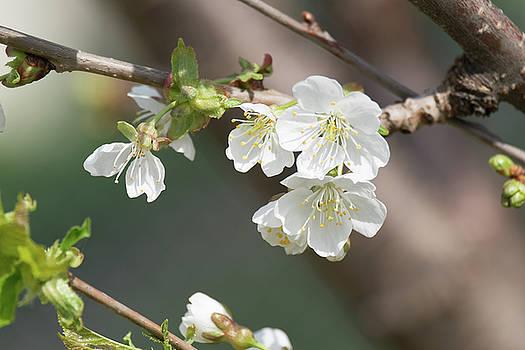 Spring Blooms by Amy Larsen