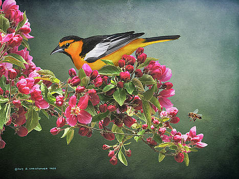 Spring Blooms Male Oriole by R christopher Vest