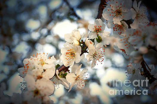 Spring blossom by Dimitar Hristov