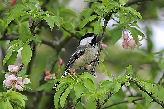 Spring blossoms and a chickadee by Linda Crockett