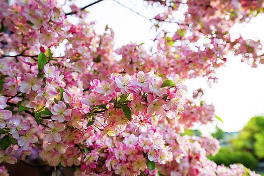 Spring Blossoms Belknap Mill by Robert Clifford