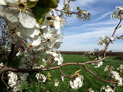 Spring Blossoms by Chris Shadwick