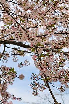 Spring Blossoms by Francie Davis