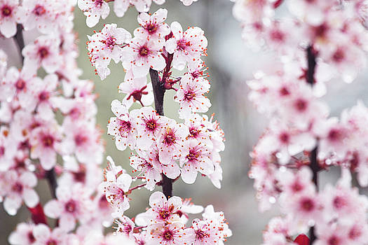 Spring Blossoms by Karol Livote