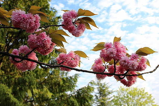 Spring blossoms by Maureen Jordan