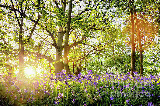Simon Bratt Photography LRPS - Spring bluebell forest with beautiful sunrise in Norfolk